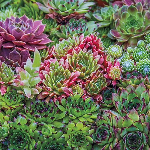 Hens & Chicks Mix