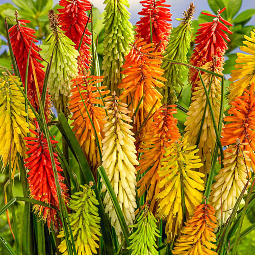 Torch Lily Mix