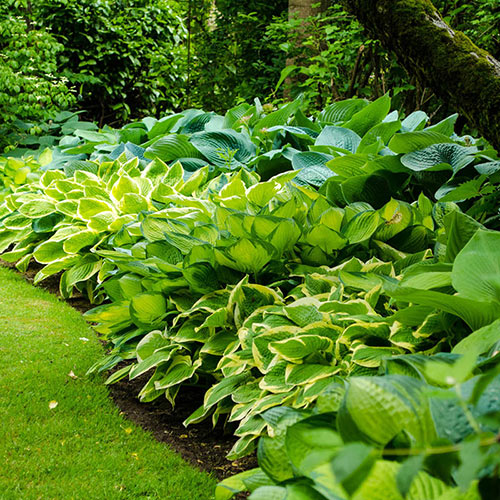 Verdant Medley Hosta Collection
