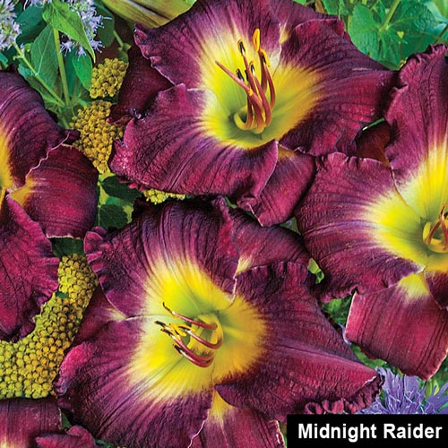 Reblooming Daylily Fall Classic Collection