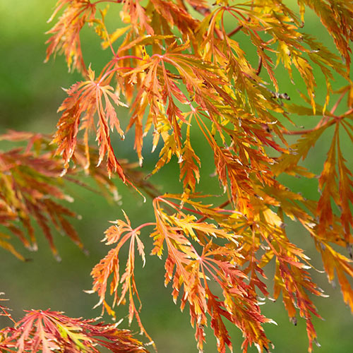 Ice Dragon Maple