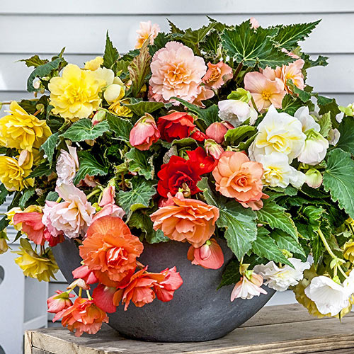 Fragrant Begonia Mix