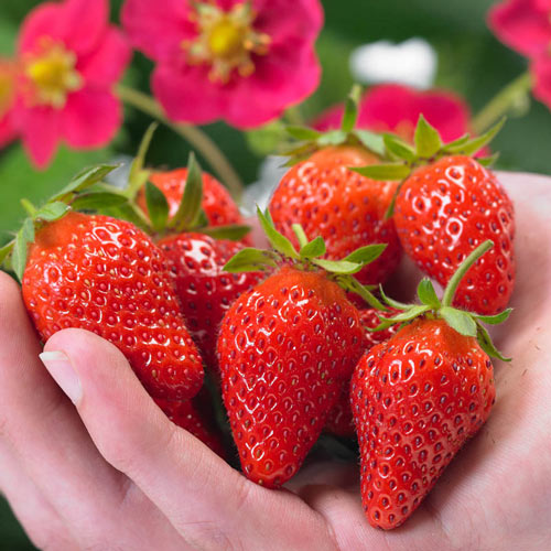 Toscana Everbearing Strawberry