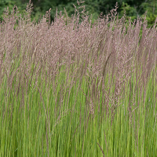 Feather Reed Grass