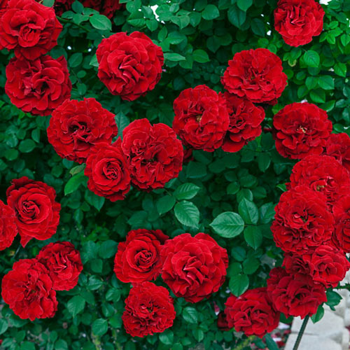 Lady in Red™ Climbing Rose