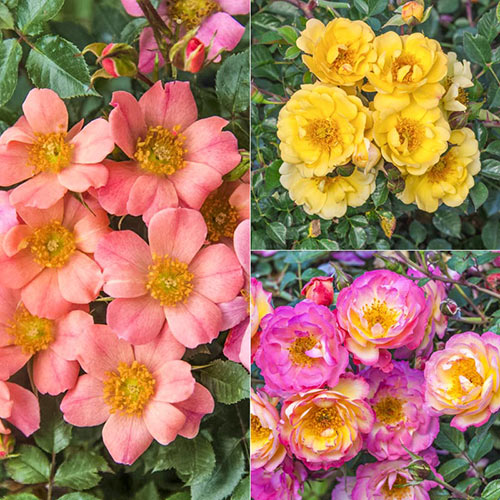 Ground Cover Rose Collection