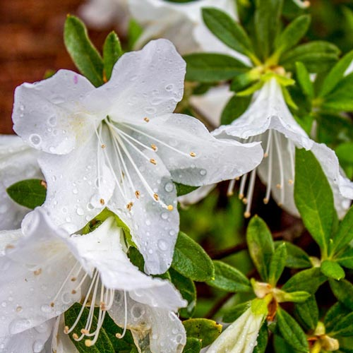 Delaware Valley White Evergreen Azalea