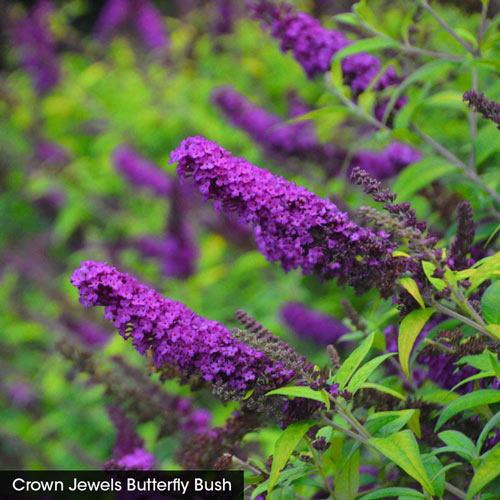 Butterfly Bush Trio
