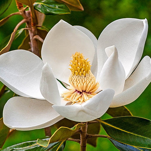 Moonglow Sweetbay Magnolia