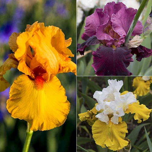Incandescent German Iris Threesome