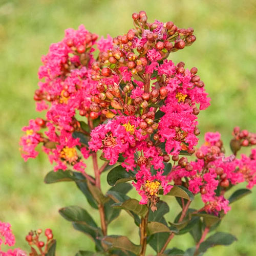 Northern Belle Hardy Hot Pink Crape Myrtle