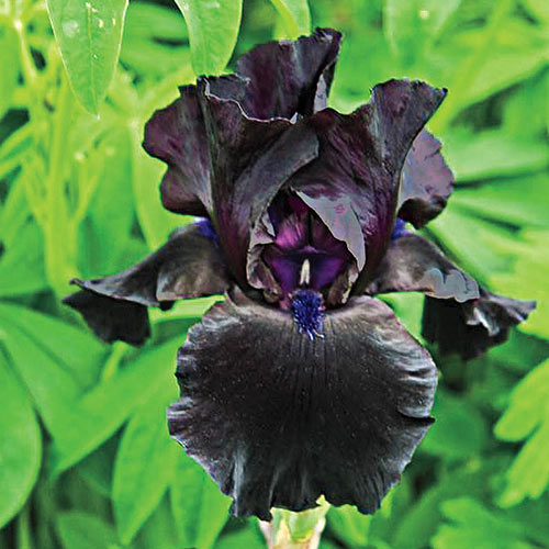 Anvil of Darkness German Iris