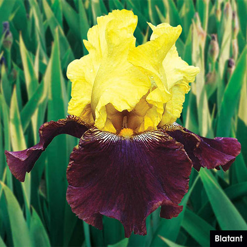 German Iris Reblooming Mix