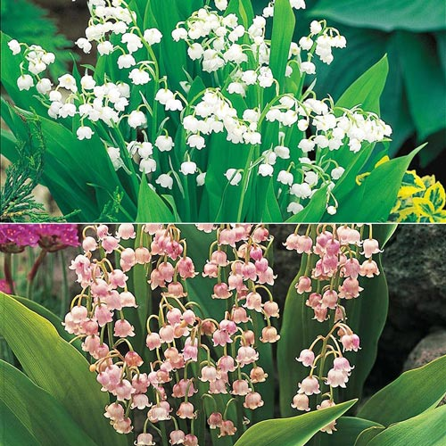 Lily-of-the-Valley Nosegay