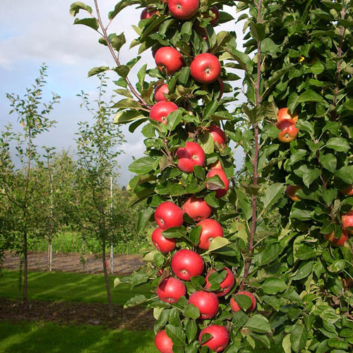 Tasty Red&trade;  Urban Apple<sup>&reg;</sup>