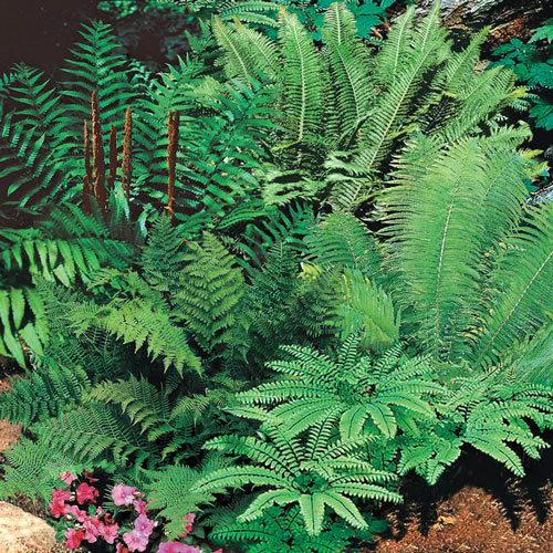Hardy Fern Mix