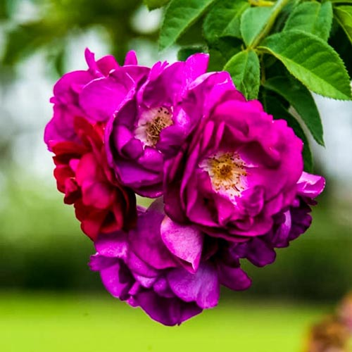 Stormy Weather™ Climbing Rose