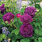 Ebb Tide™ Floribunda Rose
