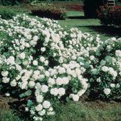 White Meidiland® Groundcover Rose
