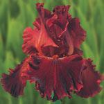 Play with Fire Bearded Iris