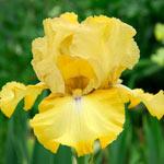 Again and Again Reblooming Bearded Iris