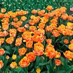 Foxy Foxtrot Tulip
