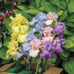 Pastel Bearded Iris Mixture