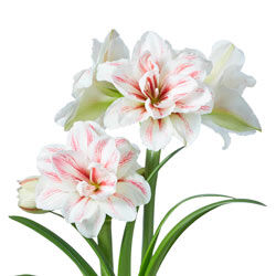 Double Amaryllis Aquaro