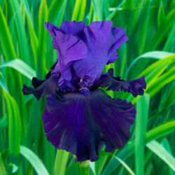 Belle Hortense Bearded Iris