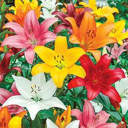 Asiatic Lily Mixture Super Sak®