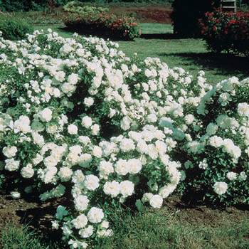 White Meidiland<sup>®</sup> Groundcover Rose