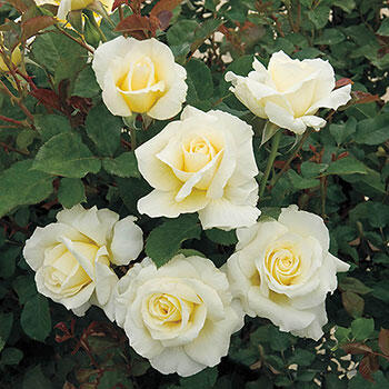White Licorice<sup>TM</sup> Floribunda Rose