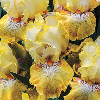 Honey Fruit Cocktail Bearded Iris