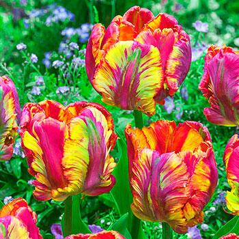 Brecks Rainbow Parrot Tulip