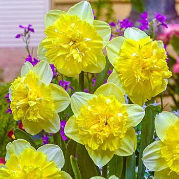 Full House Daffodil