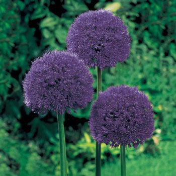 Brecks Persian Blue<sup>™</sup> Allium