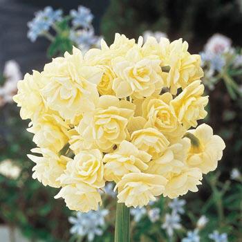 Brecks Spring Cheer<sup>™</sup> Daffodil