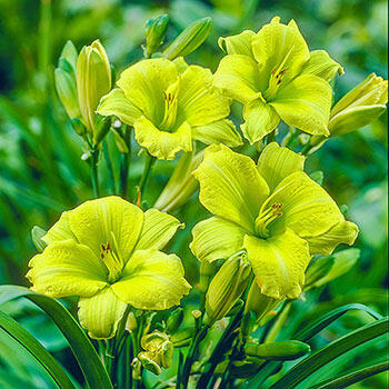 Green Flutter Reblooming Daylily
