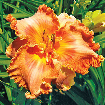 Madeline Macartney Reblooming Daylily