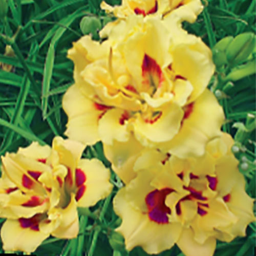 Little Miss Manners Reblooming Daylily
