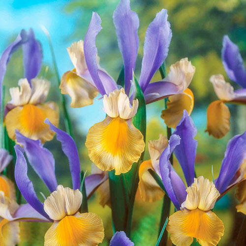 Miss Saigon Dutch Iris