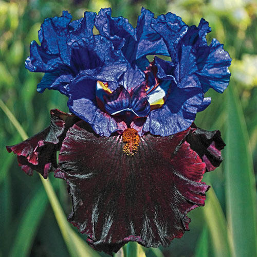 I'm Back Reblooming Bearded Iris