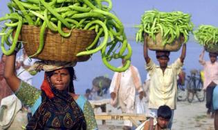 cucumber farmers