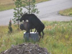 Statutory Rape Moose 3.jpg
