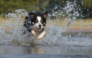 border collie jumping water