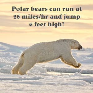 Polar Bears Run and Jump
