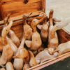teak ducks 1