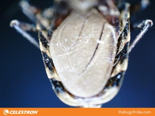 Kissing Bug Abdomen Margins Celestron