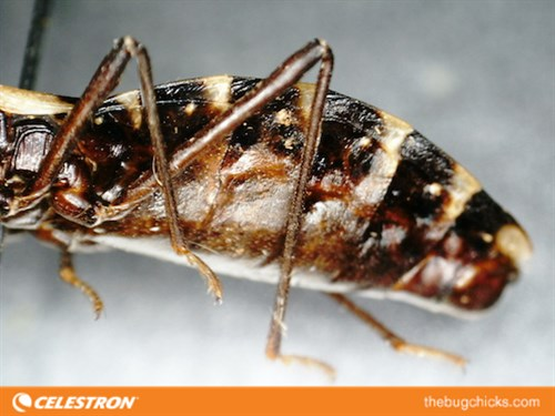 Kissing Bug Leg Celestron