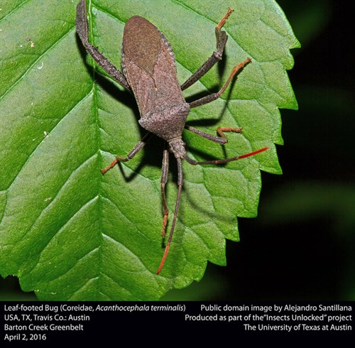 Leaf Footed Bug Public Domain